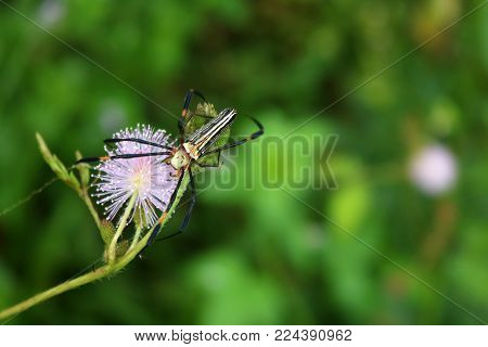 Beautiful spider on sensitive or sleepy plant in the garden