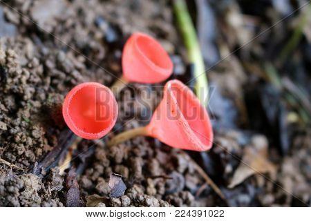Pink Burn Cup mushroom on the ground in the forest, Tarzetta rosea (Rea) Dennis species