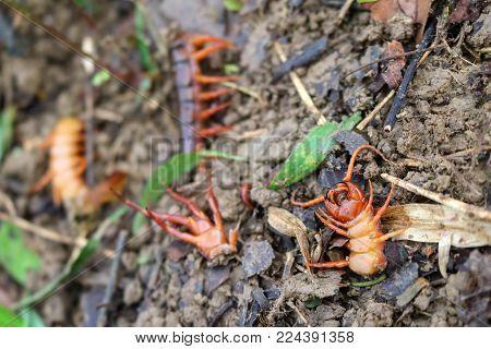 Gardener kill a centipedes poisonous animals in the rainforest garden