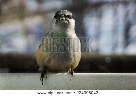 Nuthatch on the cornice in winter in soot poster
