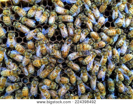Italian Honey Bee Queen And Workers In Beehive On Honeycomb Laying Eggs And Attending The Queen