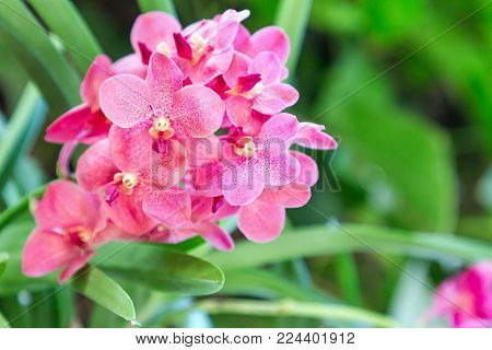 Orchid flower in orchid garden at winter or spring day for postcard beauty and agriculture idea concept design. Ascocenda orchid. Hybrid orchid.