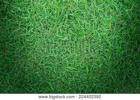 Grass texture or grass background. green grass for golf course, soccer field or sports background concept design. Natural green grass.