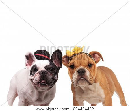 happy french end english bulldogs wearing costumes standing together on white background