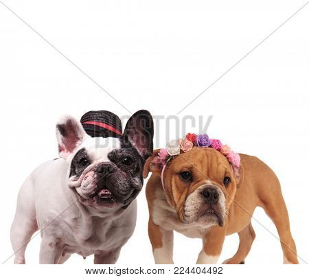 happy couple of english and french bulldogs standing together on white background