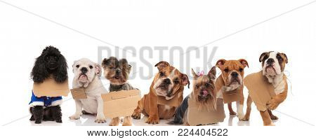 large group of homeless dogs waiting to be adopted on white background
