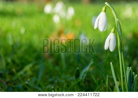 Close-up of Blooming Snowdrops (Galanthus) with Dew Drops on a greeh Meadow. View on white Snowdrops in Spring. Flowering Snowdrops in Sunlight. Blooming Snowdrops in the Morning Light.