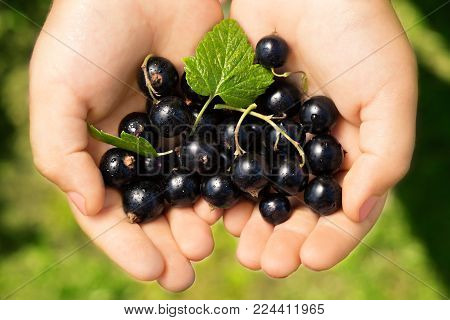 Close-up image of kid hands holding black currant. Young girl holding fresh berries black currants after harvest from garden.
