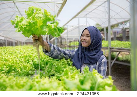 pretty muslim woman with lettuce standing in hydropohonic farm. female farmer in modern farming