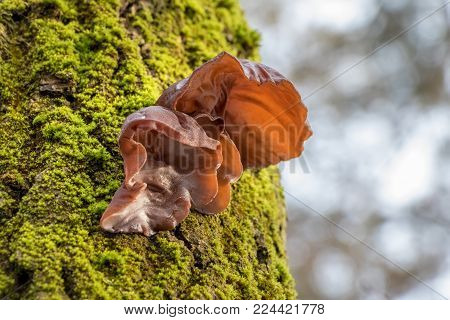 Shot of edible mushrooms known as Jews ear, Wood ear or Jelly ear (Auricularia auricula-judae) with blurred background
