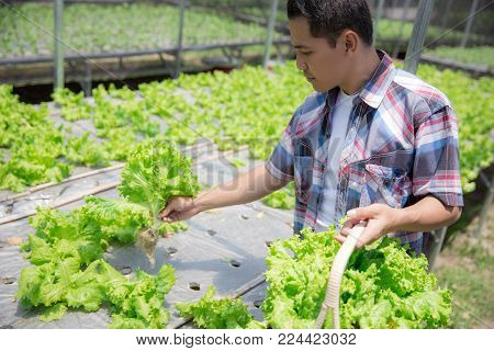 happy asian male harvesting vegetable from his own hydrophonic farm