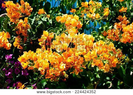 Orange and purple Bougainvillea nature background, Vilamoura, Algarve, Portugal, Europe.