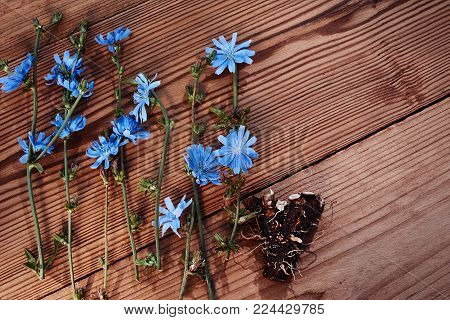 Background with flowers of chicory and root on the old wooden boards. Place for text. Top view. Medicinal plant: Chicory. Fresh root of common chicory Cichorium intybus . Chicory root Cichorii intybi radix is used for the relief of symptoms of mild digest