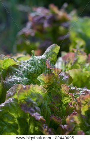 Fresh Garden Lettuce Growing In The Flowerbed