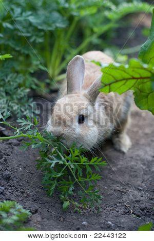 Rabbit Chewing Fennel In Garden