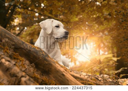 A sweet cute white labrador retriever dog puppy in the forest at golden summer sunrise walk - close to autumn