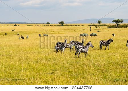 Herd of zebras grazing in the savannah plain of Maasai Mara Park in northwestern Kenya