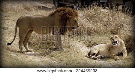 Lion and lioness in the sabana of Africa