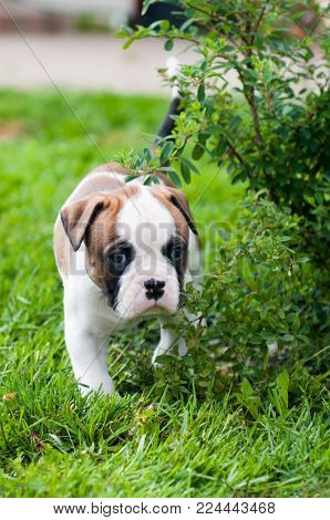 Funny nice red white American Bulldog puppy is running on nature. Puppy's acquaintance with nature