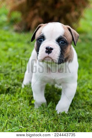 Funny nice red white American Bulldog puppy is walking on the grass. Puppy's acquaintance with nature