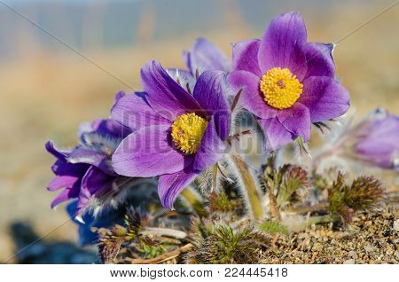 Pasque flower is also called urgulka. It grows wild and its flowering is one of the first signs of spring. Russia, Siberia