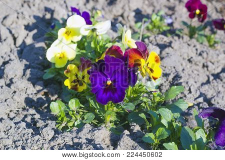 Multicolored Pansies flowers grow on flowerbed, summer sunny day