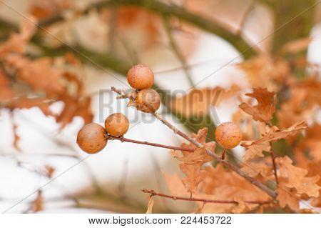 Oak spruce, oak tree, oak apple on autumn and spring background.