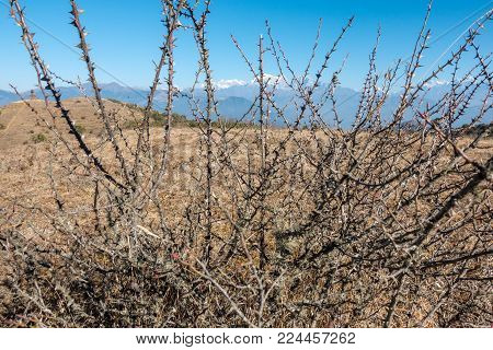 A dry and prickly thorn bush on a dry field.
