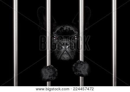 Criminal French Bulldog Dog  Behind Bars In Police Station, Jail Prison, Or Shelter  For Bad Behavio