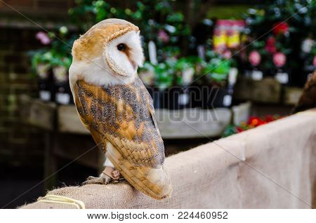 Photograph of an owl. A beautiful animal with a plumage of colors and beautiful prints. Ave with a brown and white tone.