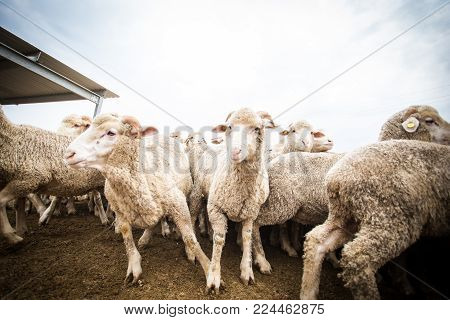 Close Up Wide Angle View Of A Flock Of Sheep In A Holding Pen On A Farm