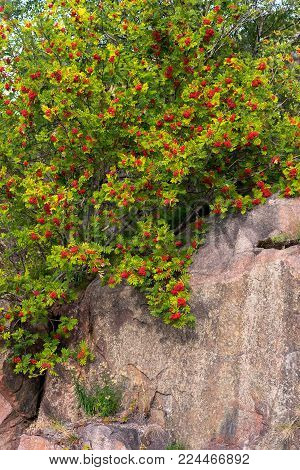 The rowanberry grow on a cliff slope. Beautiful background with bright and fresh branches in the red and green colors.