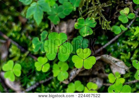 Beautiful background with green clover leaves. Clovers three leaf. Clover in a fairy tale atmosphere. Great for Saint Patrick's day