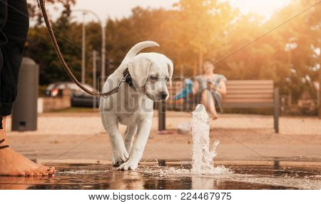 Labrador retriever puppy looking curiously at a water jet in the park during a walk on a leash - going for a walk with your dog