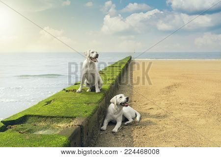 two young labrador retriever dog puppies sitting on a wall near the sea