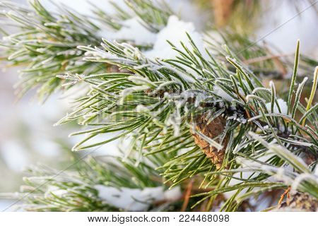 A pine branch covered with hoarfrost, under morning sunlight, with a focus on the center and natural bokeh, close up.