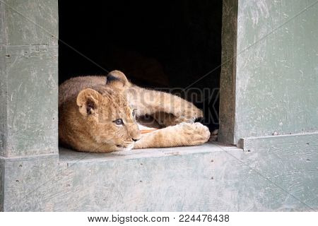 LOS ANGELES - JAN 17:  Lion cubs at the enclosure after returning home after Creek Fire at the Wildlife Waystation on January 17, 2018 in Slymar, CA