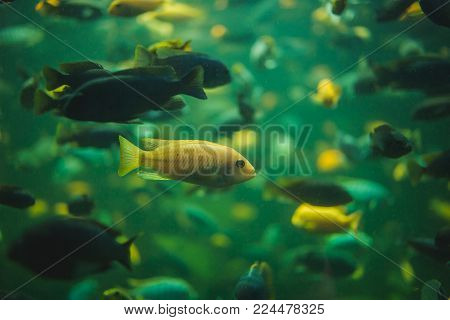 Close Up View Of A School Of Malawi Cichlid In An Aquarium