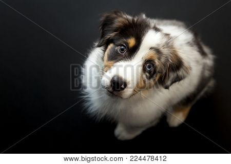 Low-key studio shot looking down at Australian Shepherd puppy on plain black background.