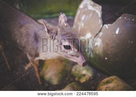 Close Up Image Of A Blue Duiker Antelope