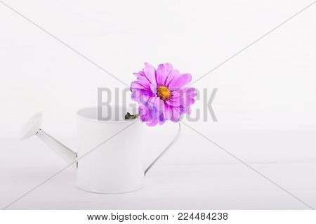 Closeup Little White Watering Can With Single Flower Of Purple Chrysanthemum On White Wooden Backgro