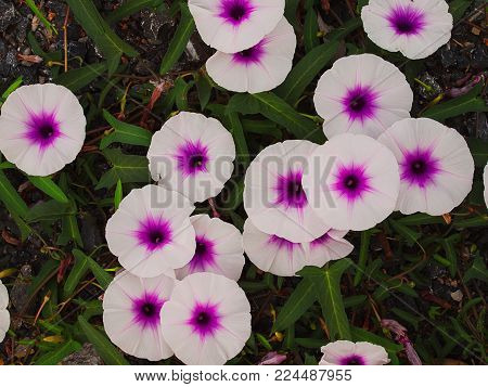 (Close up) Flower White and purple , Morning glory.