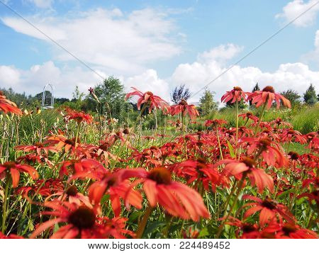 A field of red blossoming coneflowers in a beautiful summer afternoon.