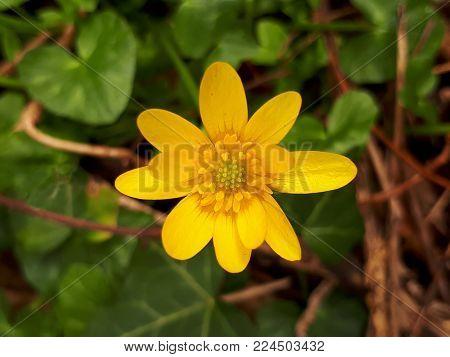 Yellow Lesser Celandine Flower with Green Leaves