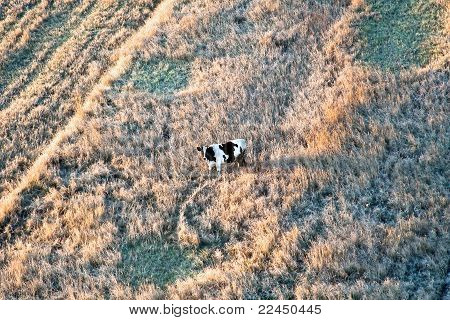 Cow standing in autumn grass top view poster