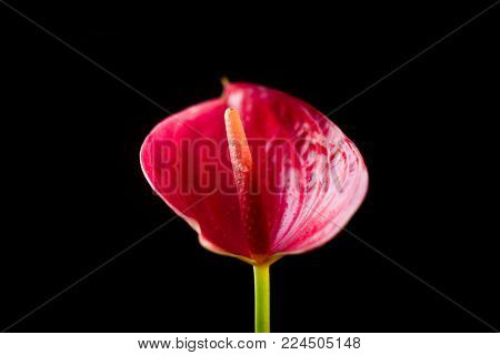 Red Anthurium Flower Over A Black Background