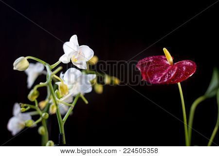 White Phalaenopsis And Red Anthurium Flowers Over Black Background