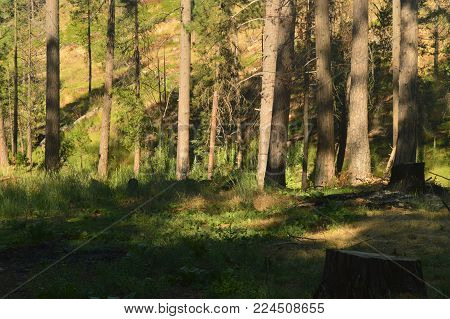 Forest With Many Peacocks Sucking Up For Thanksgiving Day Yosemite National Park. Nature Travel Holidays. June 29, 2017. Yosemite National Park. Mariposa California. USA. USES.