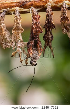 Close-up macro shot of a butterfly emerging from its cocoon surrounded by empty cocoons.