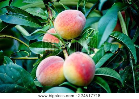 Sweet peach fruits growing on a peach tree branch peach, green
